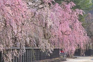 桜の咲く古い町並みを散歩したい!風情ある絶景3選