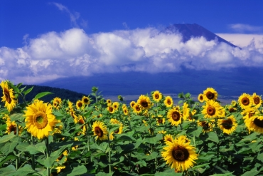 夏日燦爛耀眼黃金花海! 嚴選日本4大向日葵絕景