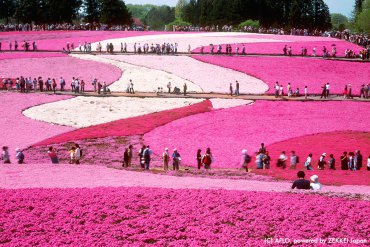 10,114 gave Hitsujiyama Park a 'like'! This is exactly the kind of moss pink spot that you can find in all areas of Japan, and its best season is now★