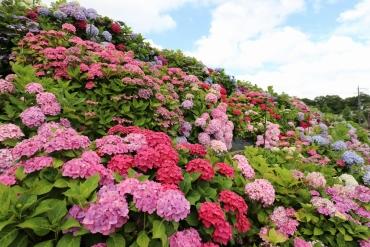 一掃6月梅雨季壞心情! 嚴選4處大阪當地人推薦紫陽花絕景