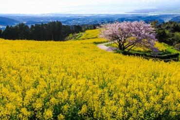 九州賞櫻何處去?精選5個環境超優的九州櫻花景點