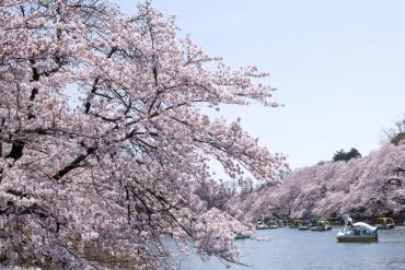 住在东京的日本人告诉你:东京的樱花哪里看?