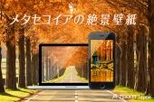 【絶景壁紙】オレンジ色に色づく!哀愁漂う「メタセコイア」の絶景壁紙