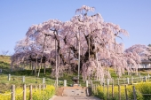 幽玄な佇まいに酔いしれよう!山里に咲く一本桜おすすめ5選