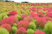 真っ赤なコキアに曼珠沙華!秋に美しい植物の絶景と見頃をご紹介