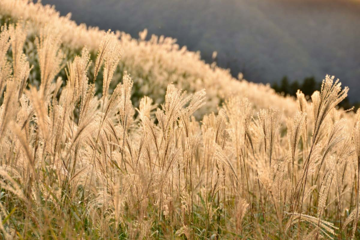 Cánh đồng cỏ lau Sengokuhara
