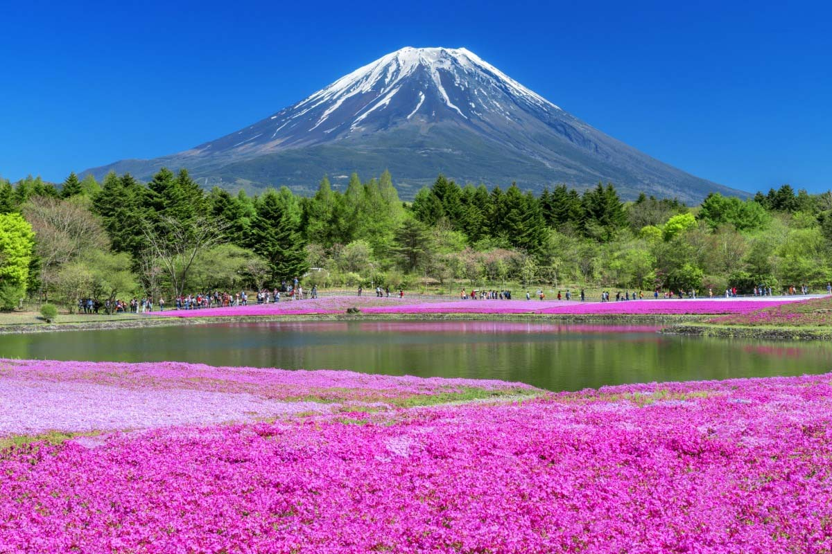 富士芝樱节