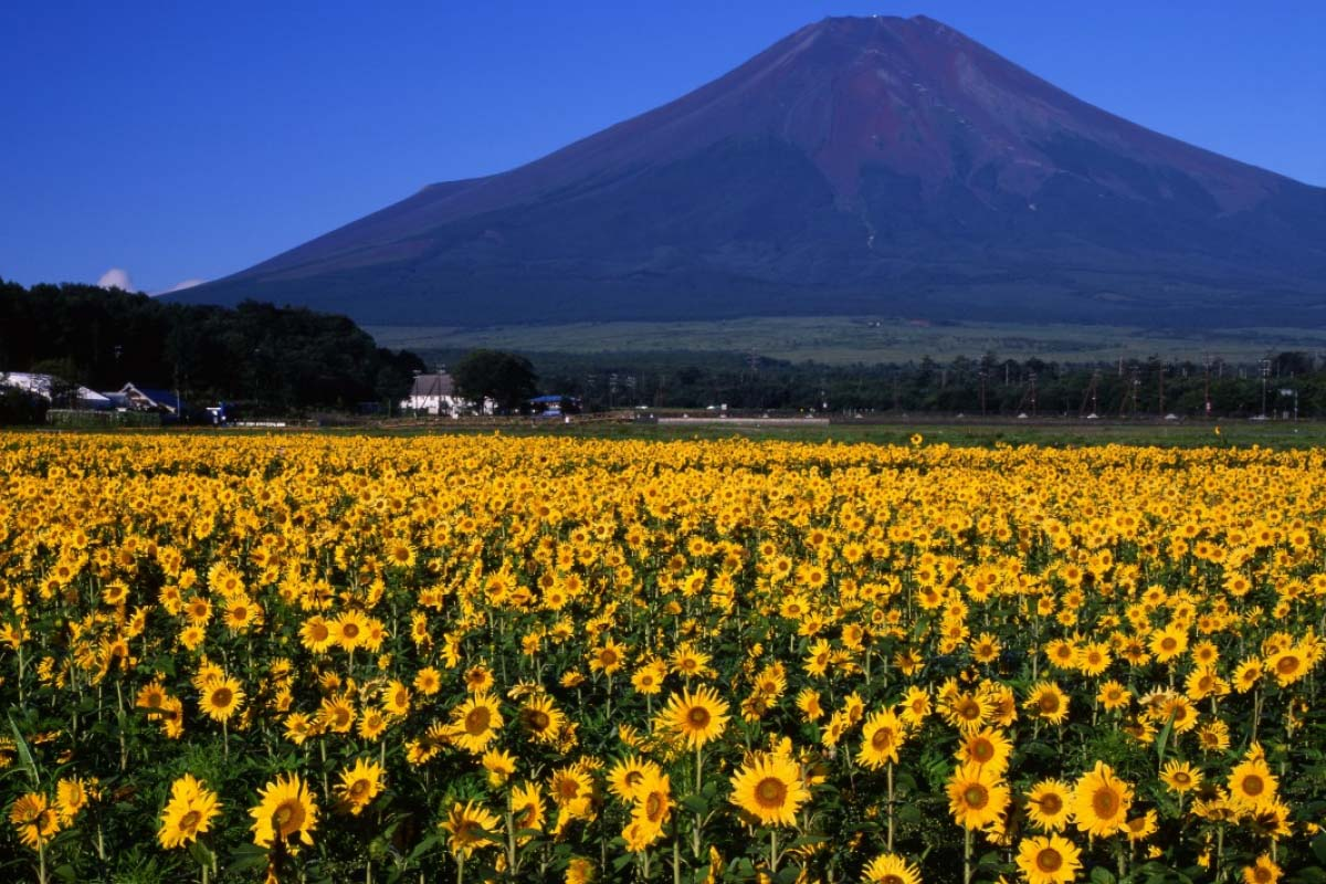 Sunflowers in Oshino Village