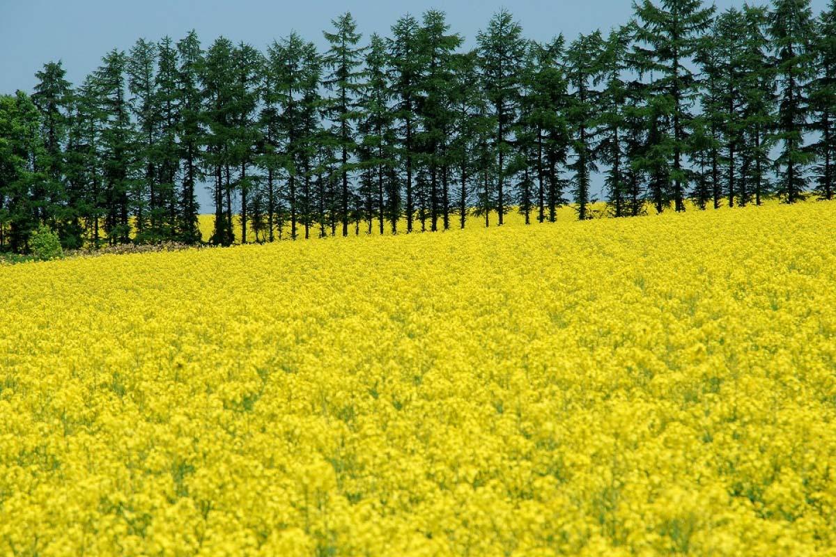 Takikawa Rapeseed Field