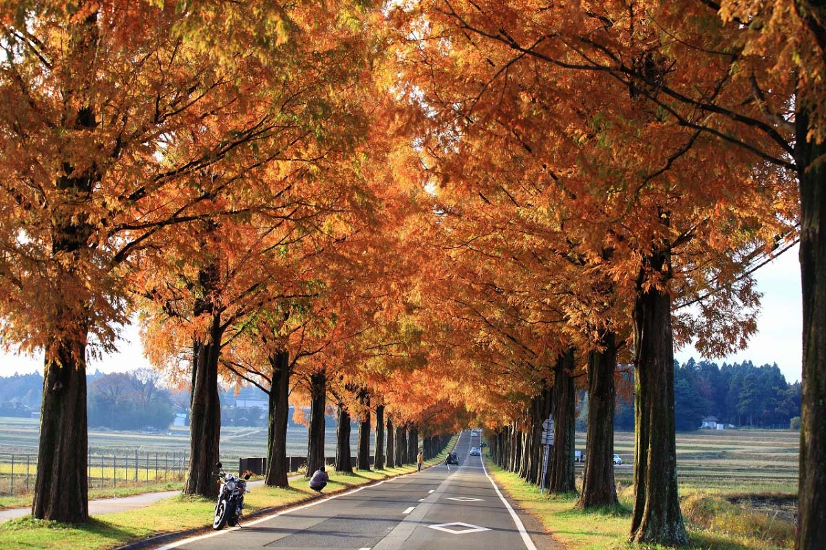 Makino Metasequoia Tree-Lined Street