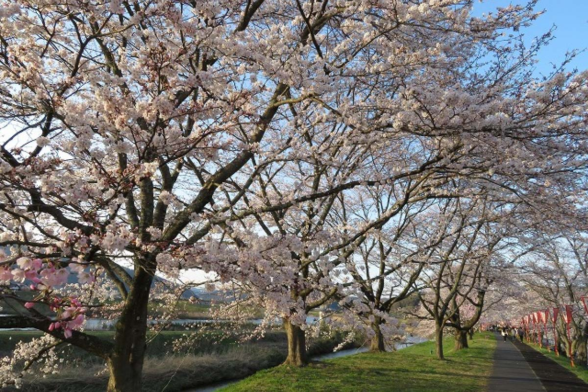 Cherry Blossoms at Hii River