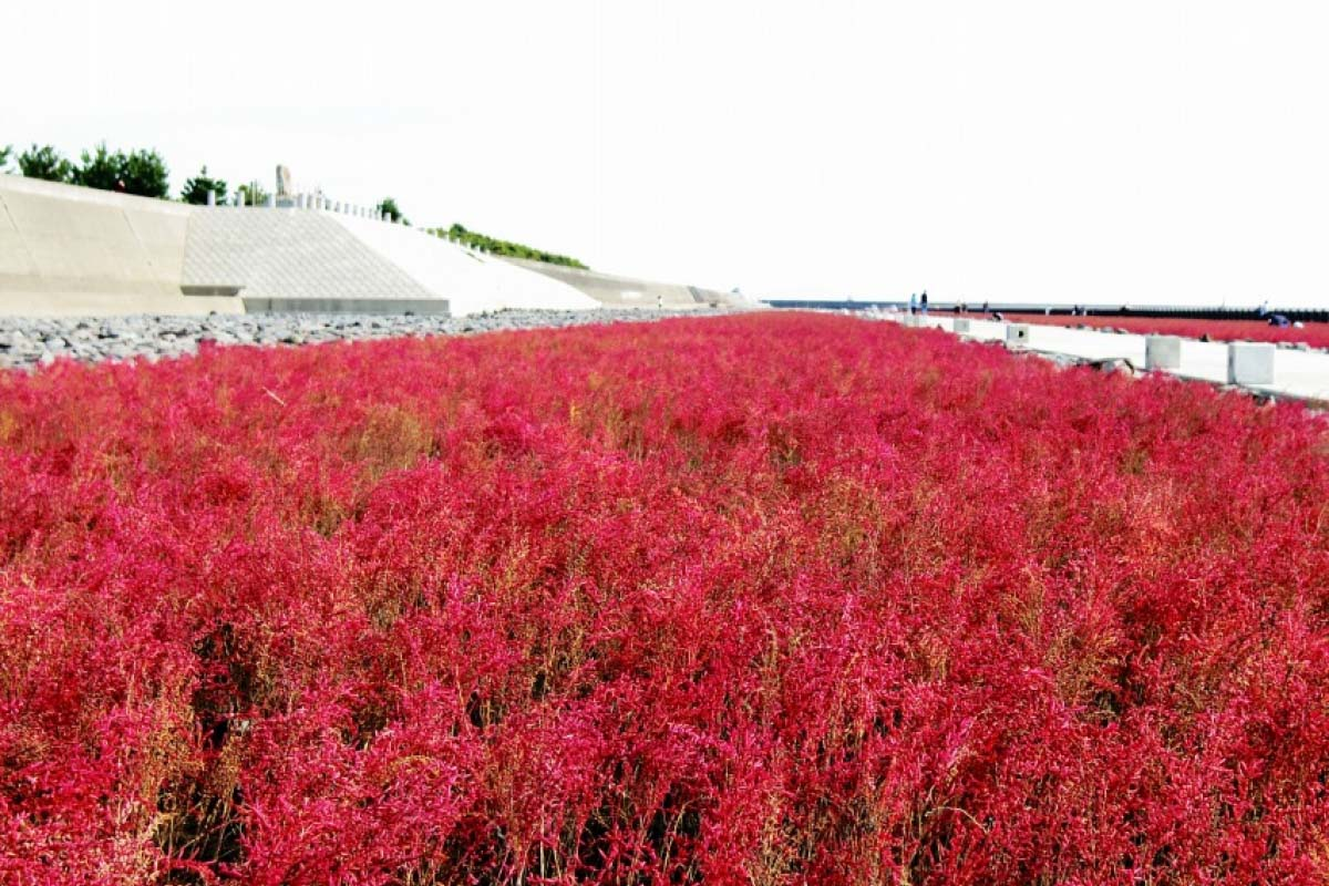 The Shichimenso Fields of the Higashiyoka Coast