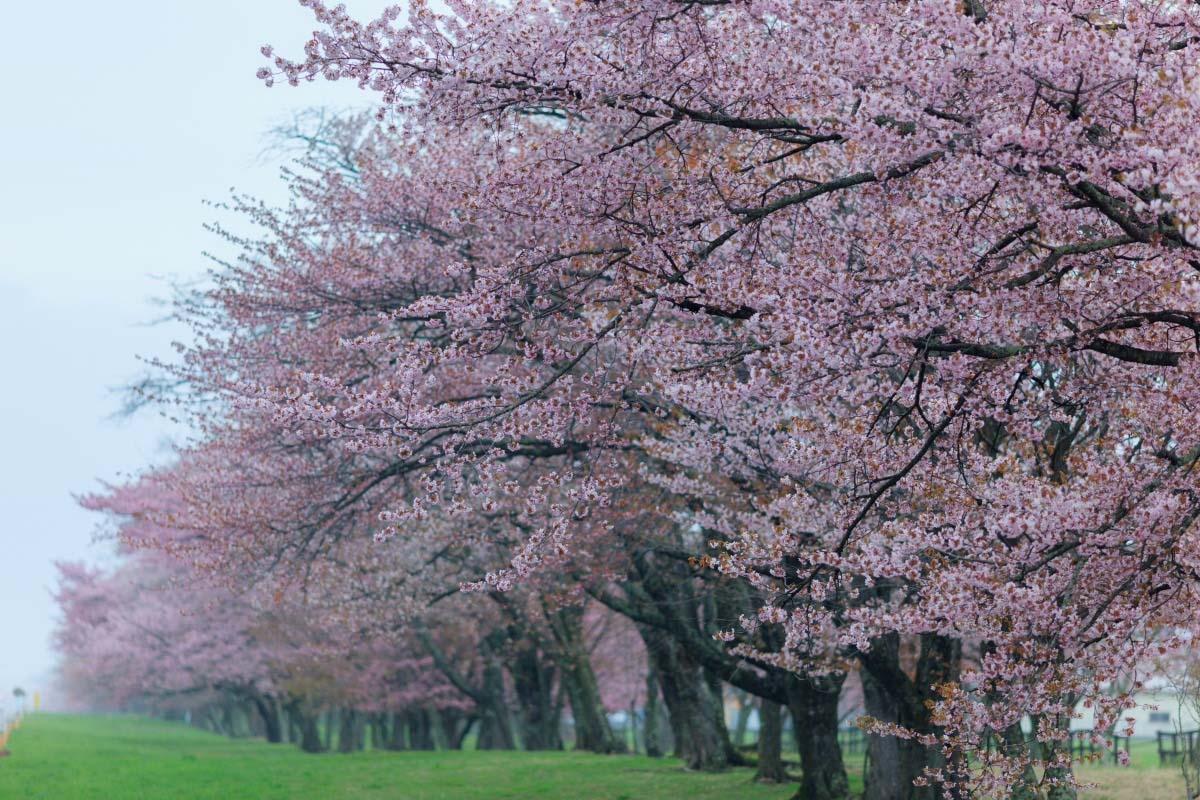 Nijukken Road Cherry Blossom Trees