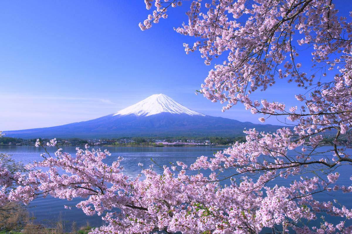 「富士河口湖 櫻」的圖片搜尋結果
