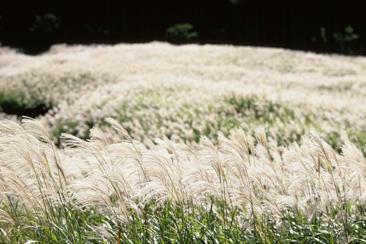 仙石原芒草
