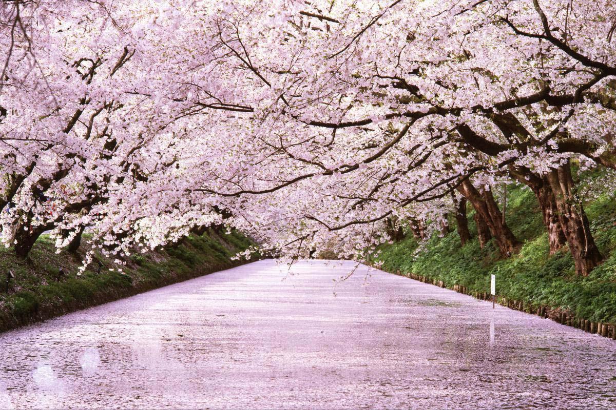 「弘前城公園櫻花季」的圖片搜尋結果