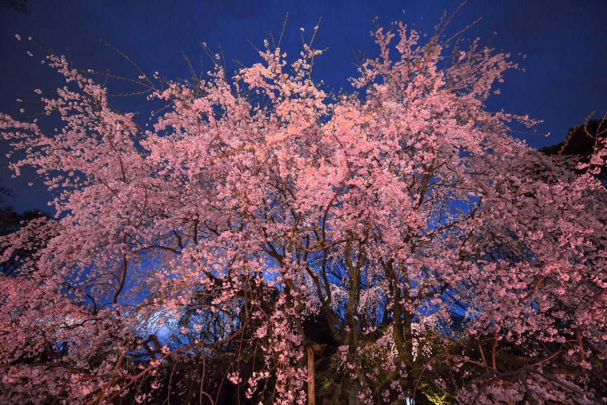 六義園-垂枝櫻花