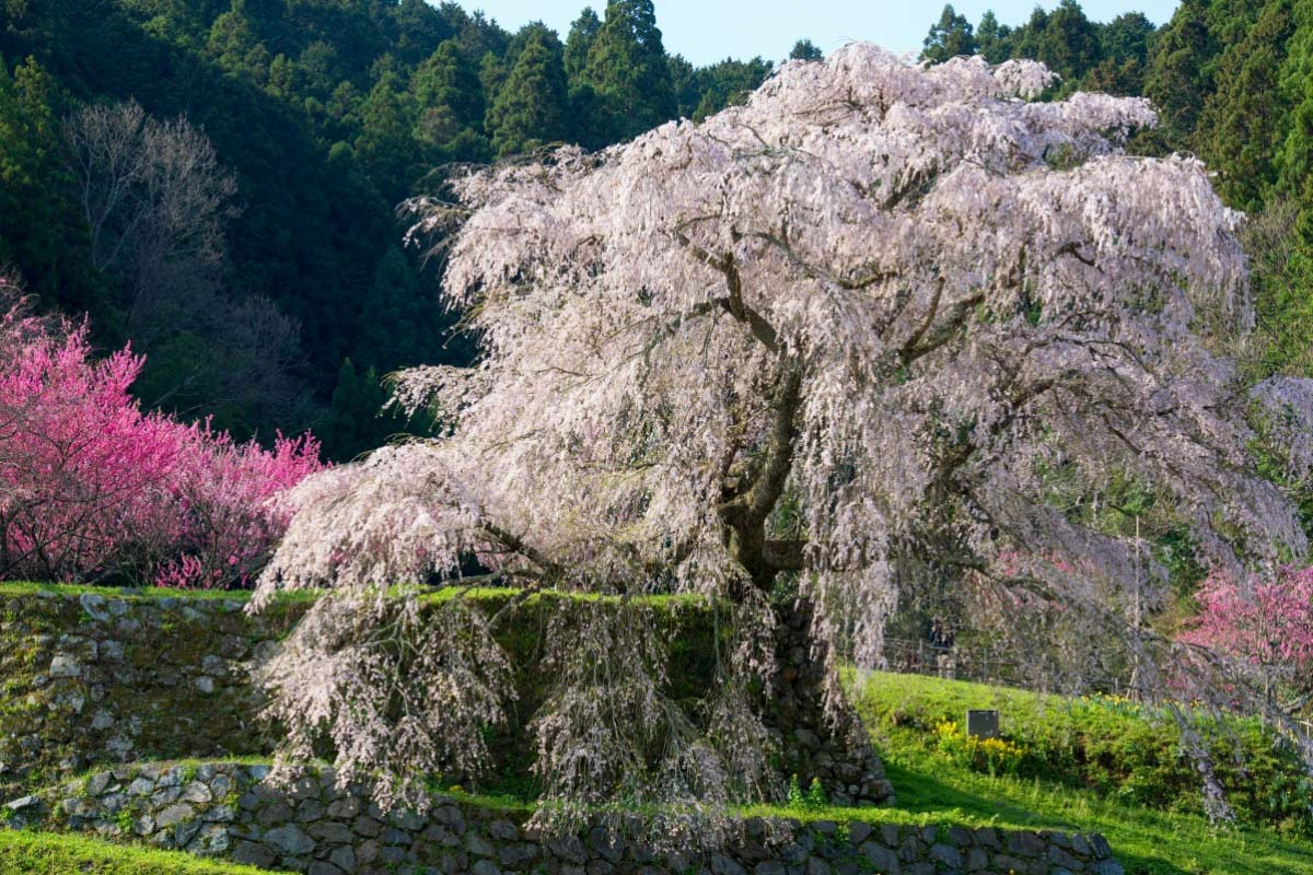 Hongo no Takizakura (Matabee Cherry Tree)