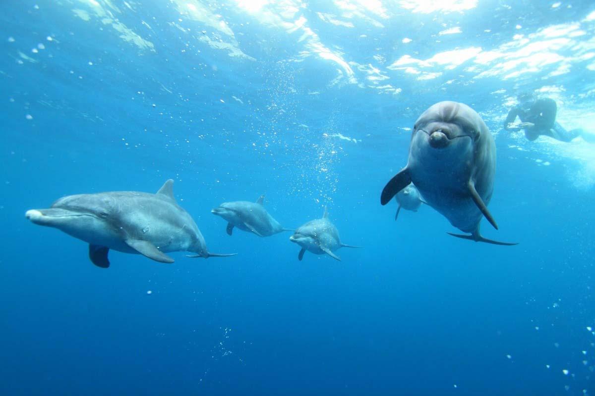 Indo-Pacific bottlenose dolphin of Mikurajima Island