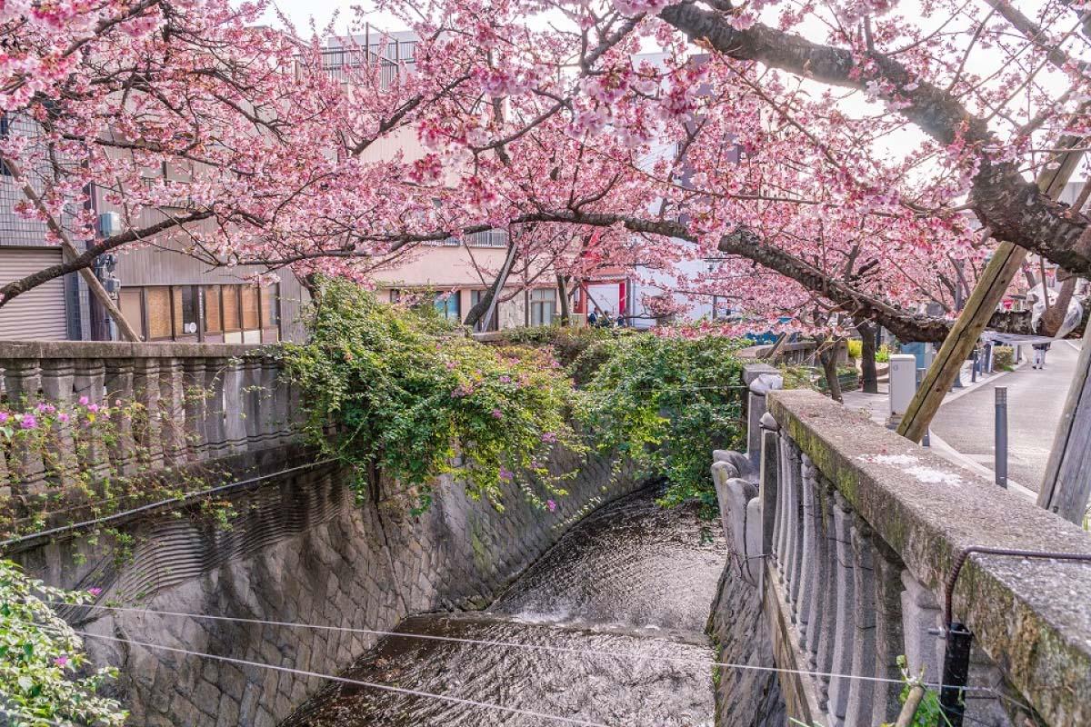 Atamizakura Itogawa River Cherry Blossom Festival