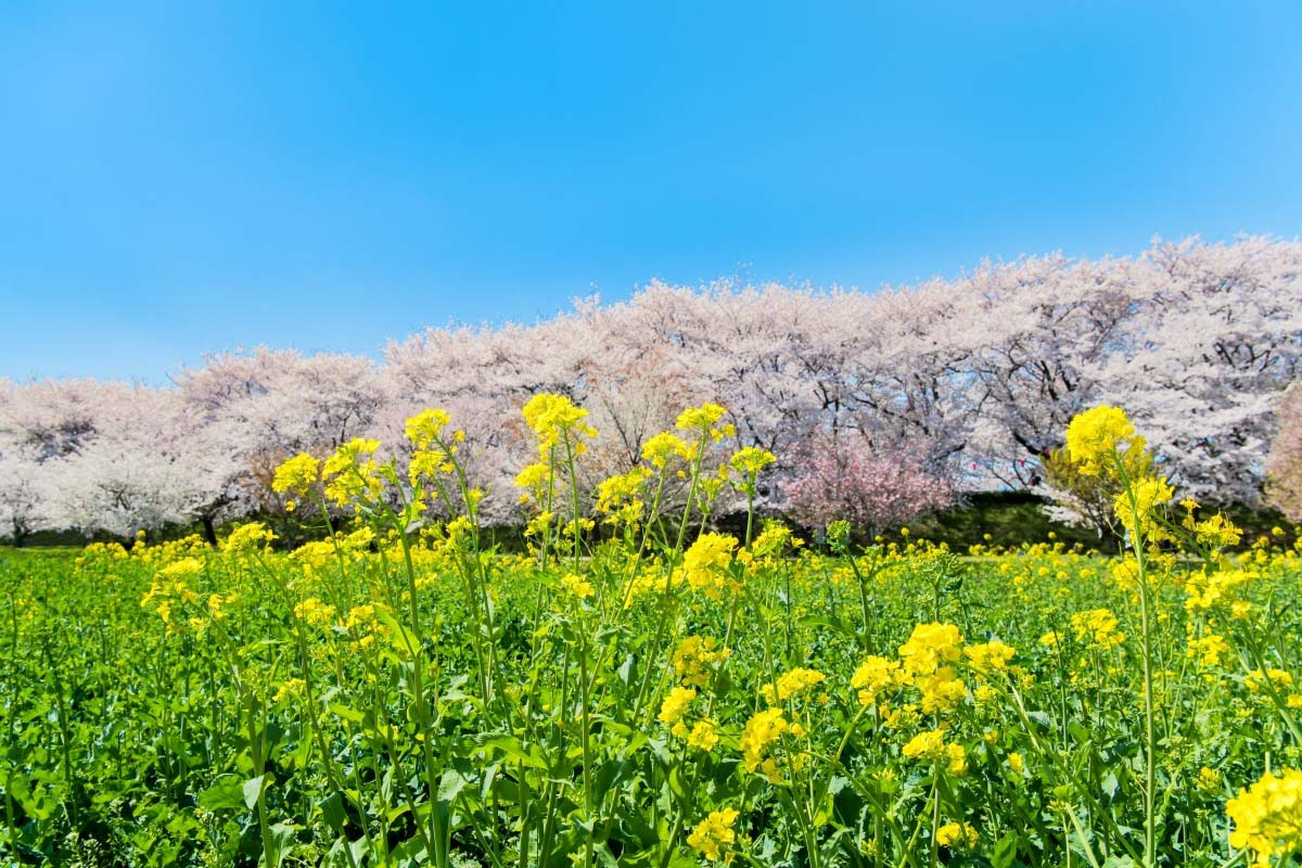 Gongendo Tsutsumi (Cherry Blossoms at Gongendo Park)