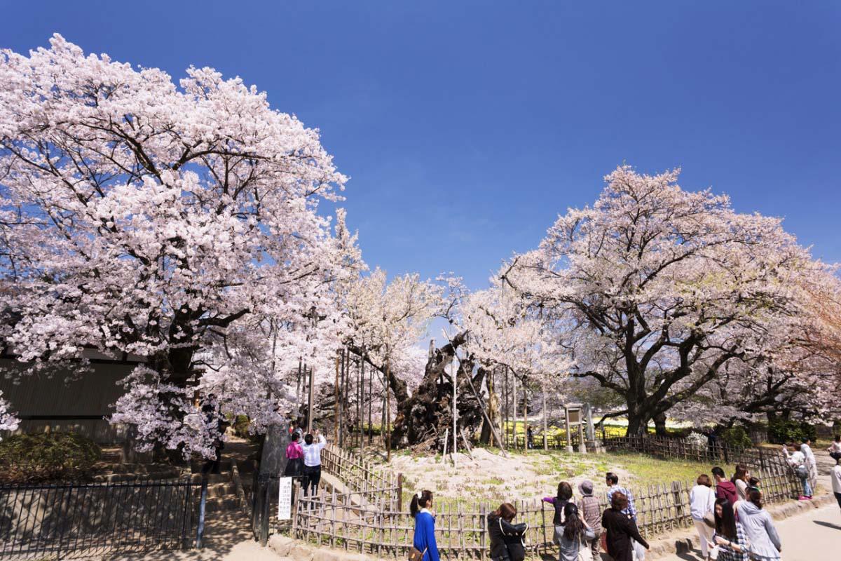 山高神代桜