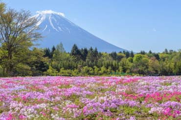 Fuji Shibazakura festival(Mt. Fuji)