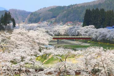 Natsui Senbonzakura (The 1,000 Cherry Trees of Natsui)