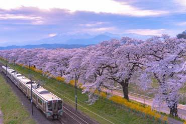 Cherry Blossoms at Shiraishi River(Miyagi)