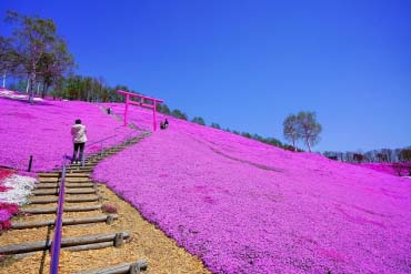 Higashimokoto Moss Pink Park (Other Areas of Hokkaido)