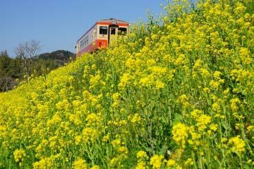 夷隅鐵道 油菜花列車(千葉)