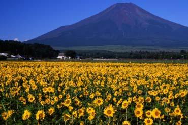 Hoa hướng dương làng Oshino