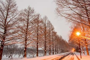 Makino Metasequoia Tree-Lined Street	(Shiga & Lake Biwa )