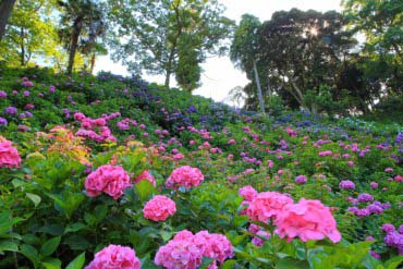 Hattori Farm Hydrangea Mansion(Chiba)