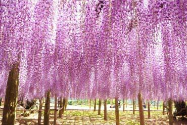 Kawachi Fuji (Wisteria) Gardens(Fukuoka & Hakata)