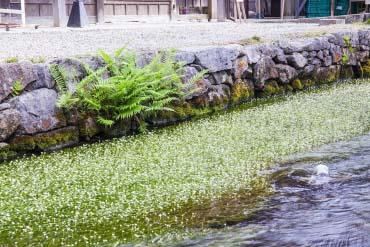 Hoa Baikamo ở Samegai(Shiga/Biwako)
