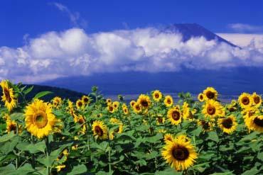 忍野村のひまわり(富士山)