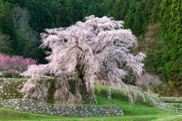 Hongo no Takizakura (Matabee Cherry Tree)(Nara)