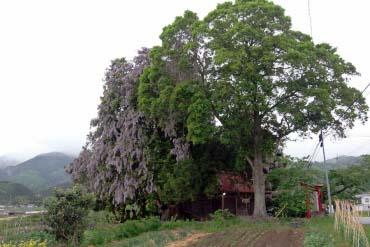 A big torreya and a large wisteria of the Shinzan Jinja Shrine(Fukushima)