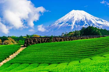 Tea plantation and My.Fuji(Mt. Fuji)