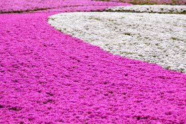 富士芝樱节(富士山)