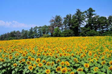 Sunflower Fields in Akeno