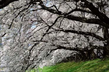 Yodogawa Riverside Park, Sewaritei District(Kyoto)