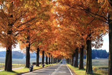 Makino Metasequoia Tree-Lined Street(Shiga & Lake Biwa )