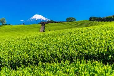 Tea plantation and My.Fuji(Mt. Fuji)