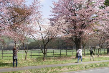 Nijukken Road Cherry Blossom Trees(Sapporo & Otaru)