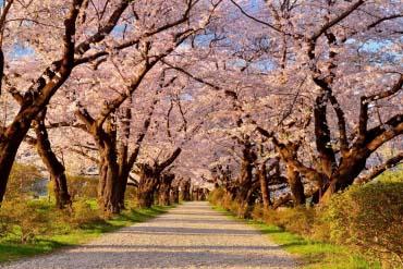 Lễ hội hoa anh đào Kitakima Tenshochi