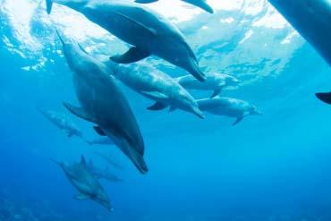 Indo-Pacific bottlenose dolphin of Mikurajima Island(Tokyo)