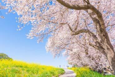 Cherry Blossoms at Kumagaya Sakura Tsutsumi(Saitama)