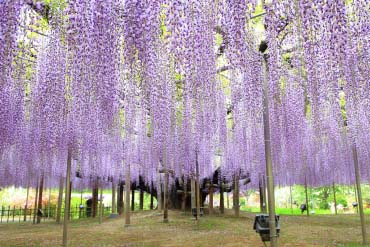 "Công viên hoa ""Ashikaga Flower Park"" (Tochigi)"